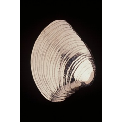 Quahog Clam Door Knocker